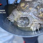 Ad Arconate una tartaruga azzannatrice nei giardinetti