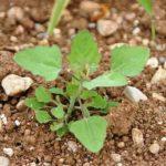 Le piante infestanti aiutano a ridurre le perdite di produzione delle colture