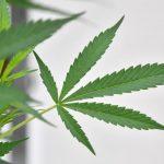 Cannabis legale: crollano i pregiudizi e aumentano i consumatori consapevoli